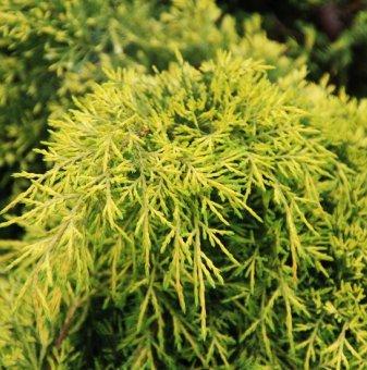 Юниперус Pfitzeriana Aurea - Juniperus Pfitzeriana Aurea..