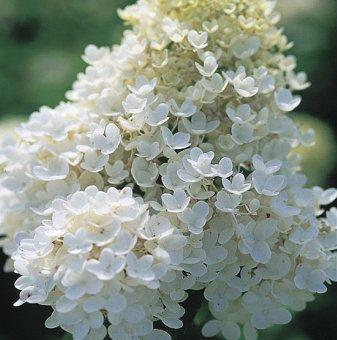 Метличеста хортензия - Hydrangea grandiflora