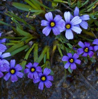 Трева Синьо око - Sisyrinchium
