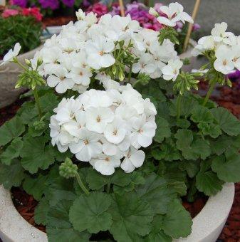 Мушкато Бяло - Pelargonium White