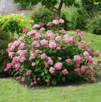 Хортензия розова - Hydrangea Аrborescens