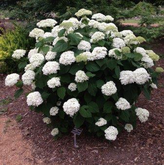 Хортензия бяла - Hydrangea Аrborescens