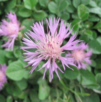 Метличина - Centaurea Bella...