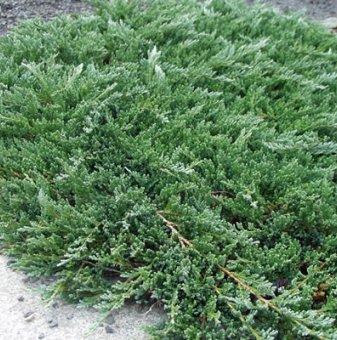 Хвойна Glauca  - Juniperus horizontalis Glauca...
