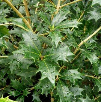 Османтус - Osmanthus heterophyllus