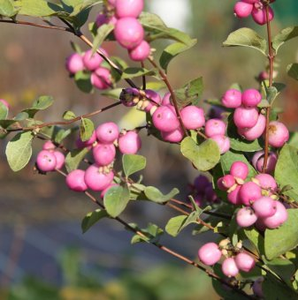 Снежноплодник - Symphoricarpos x doorenbosii Magic Berry' ..