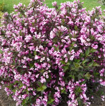 Вайгела florida Purpurea - Weigela florida Purpurea..