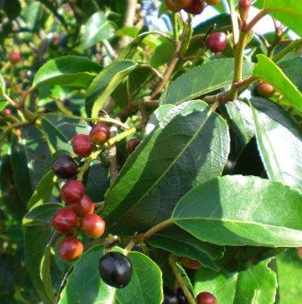 Португалска череша - Prunus lusitanica