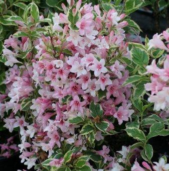 Пъстролистна Вайгела - Weigela variegata