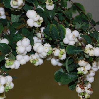 Снежноплодник 30-40 см - Symphoricarpus