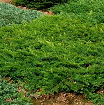 Сабина зелена, Миризлива хвойна - Juniperus Sabina..