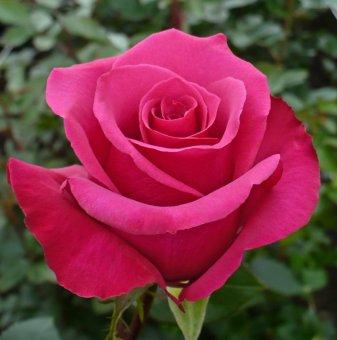 Роза - цикламена, ароматна, в контейнер...