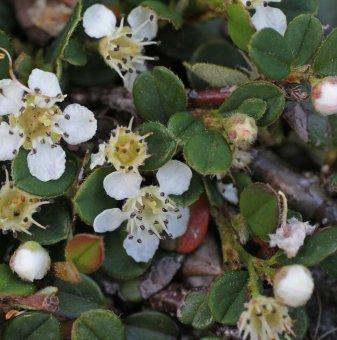 Котонеастър Мултифлора - Cotoneaster Multiflora