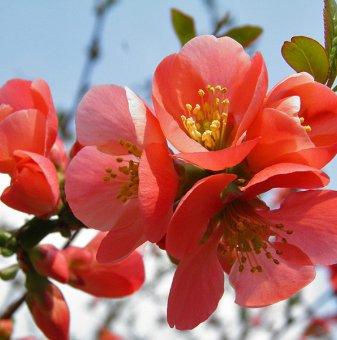 Японска дюля, Цидония Розова - Cidonia...