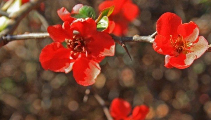 Снимка Хеномелес Red Joy, Японска дюля Red Joy - Chaenomeles Red Joy