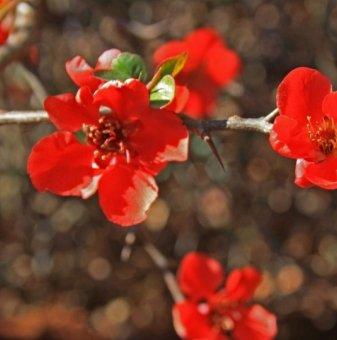 Хеномелес Red Joy, Японска дюля Red Joy - Chaenomeles Red Joy...