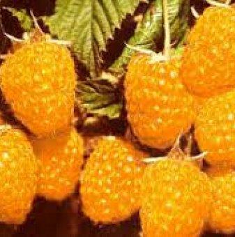 Малина - жълта