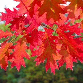 Червен дъб - Quercus Rubra