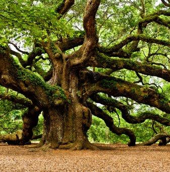 Обикновен дъб - Quercus robur