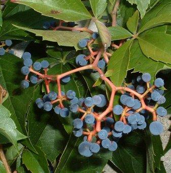 Дива лоза parthenocissus - Parthenocissus quinquefolia..