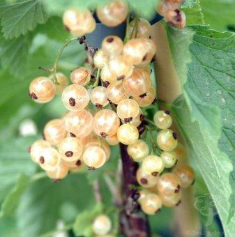 Касис бял 60 - 100 см. - Ribes rubrum white pearl