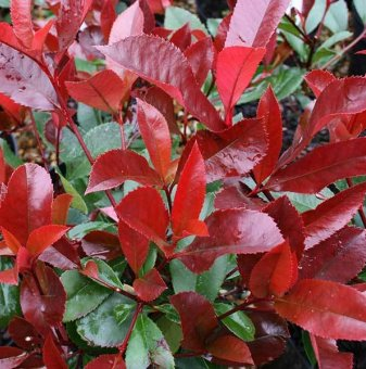 Фотиния Little Red Robin - Photinia Little Red Robin..