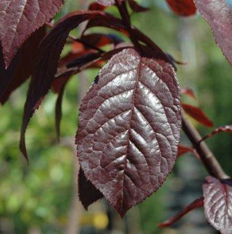 Червенолистна слива - Prunus Nigra