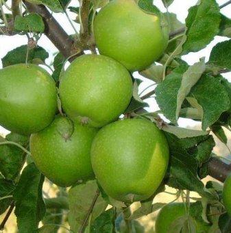 Ябълка сорт Грени Смит - 140-160 см....