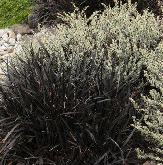 Офиопогон черен - Ophiopogon black