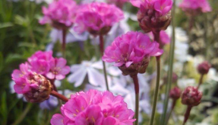 Снимка Армерия розова, Лъжичниче - Armeria Maritima