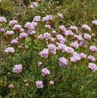 Армерия бледо розова, Лъжичниче - Armeria Maritima...