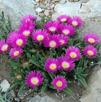 Делосперма лилава - Delosperma Sutherlandii