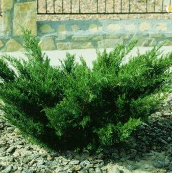 Юниперус Майер - Juniperus Mayeri...
