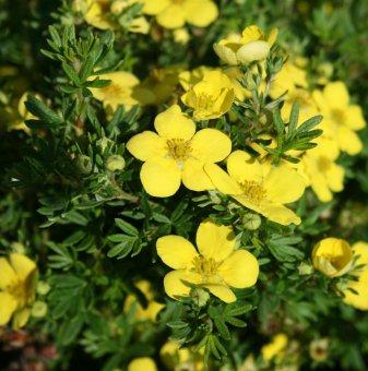 Потентила Жълта - Potentilla fruticosa