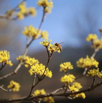 Дрян жълт - Cornus