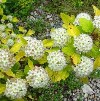 Физокарпус Голд - Physocarpus Gold