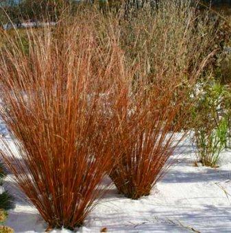 Карекс кафяв - Carex Buchananii