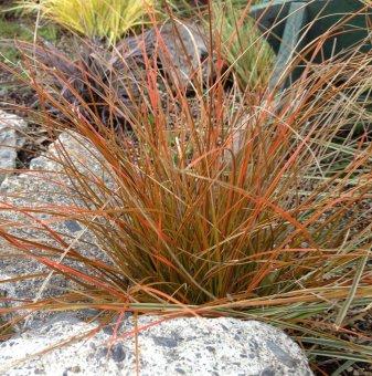 Карекс кафявo-зелен - Carex Testacea...