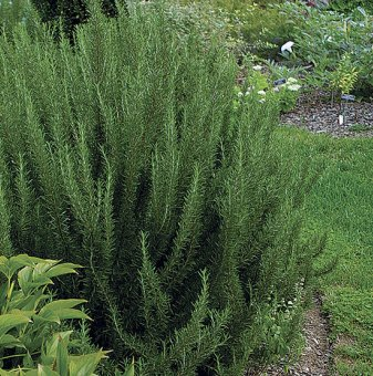 Розмарин зелен - Rosmarinus Officinalis