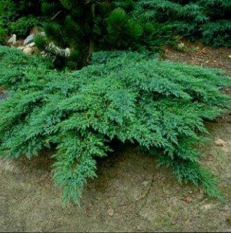 Хвойна Принца на Уелс - Juniperus horizontalis Prince of Wales..