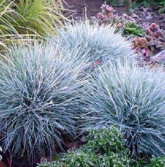 Фестука, синя трева - Festuca glauca