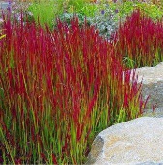 Императа - Imperata cylindrica - Red Baron...