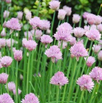 Сибирски лук - Резанец - Allium Schoenoprasum