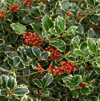 Пъстролистен Джел - 'Ilex aquifolium Argentea Marginata'..