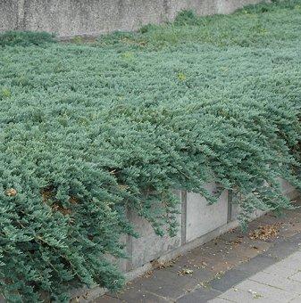 Хвойна Ледено синя - Juniperus hor. Ice Blue...