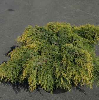 Хвойна сорт Краля на пролетта - Juniperus king of spring..