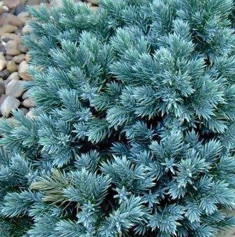 Хвойна Синя звезда - Juniperus squamata Blue Star