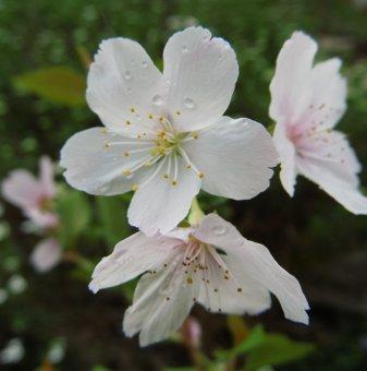 Декоративна череша Лоте - Prunus incisa Lotte