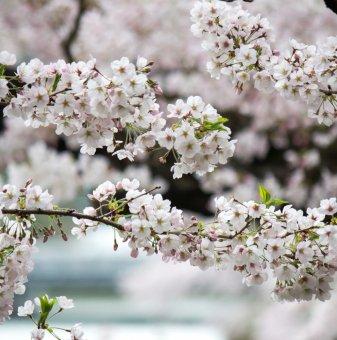 Японска череша Брилянт - Prunus Nipponica Brilliant..