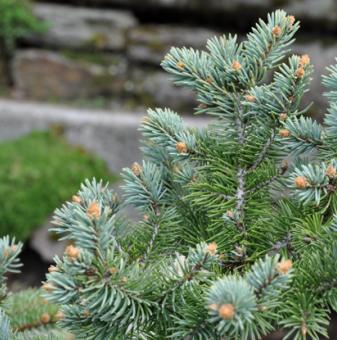 Сребрист Смърч Glauca - Picea Pungens Glauca